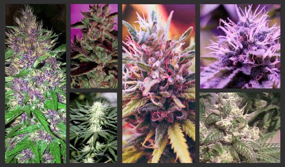 6 CANNABIS STRAINS THAT ARE PERFECT FOR VAPING 1 1 1